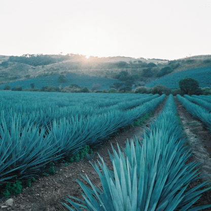 La ruta del tequila, degustación, paisaje agavero.