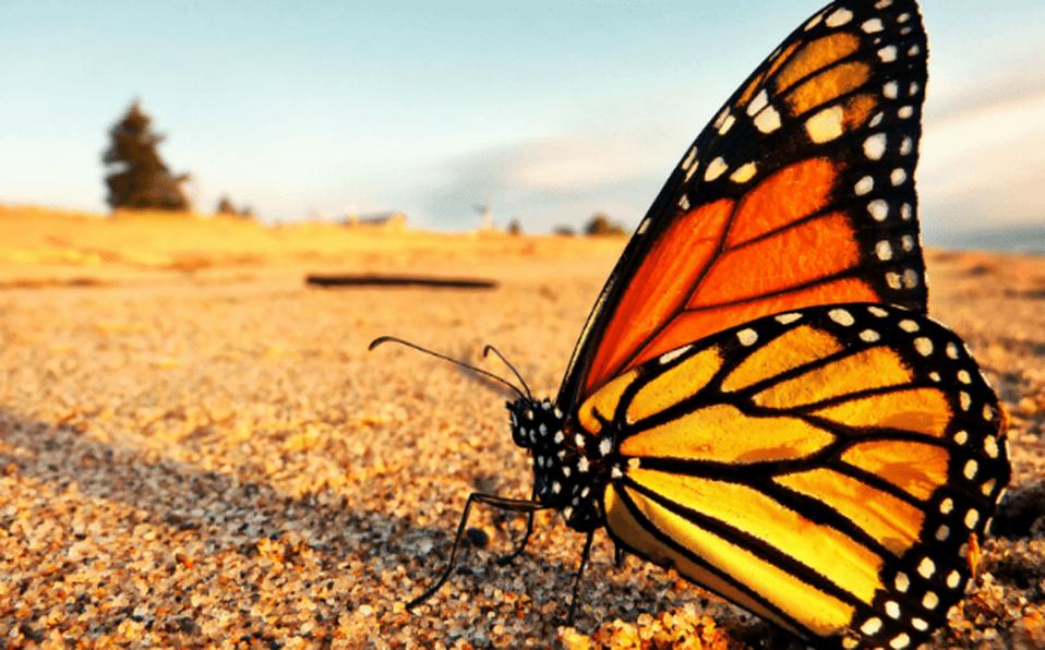 La mariposa monarca es conocida mundialmente por su color naranja y negro.